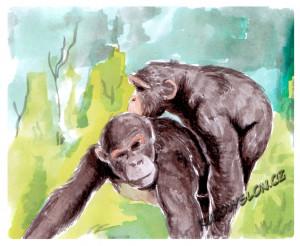 souložící šimpanzi