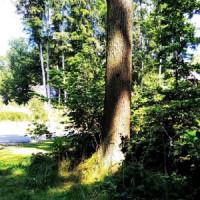 Strom v obci Ráby